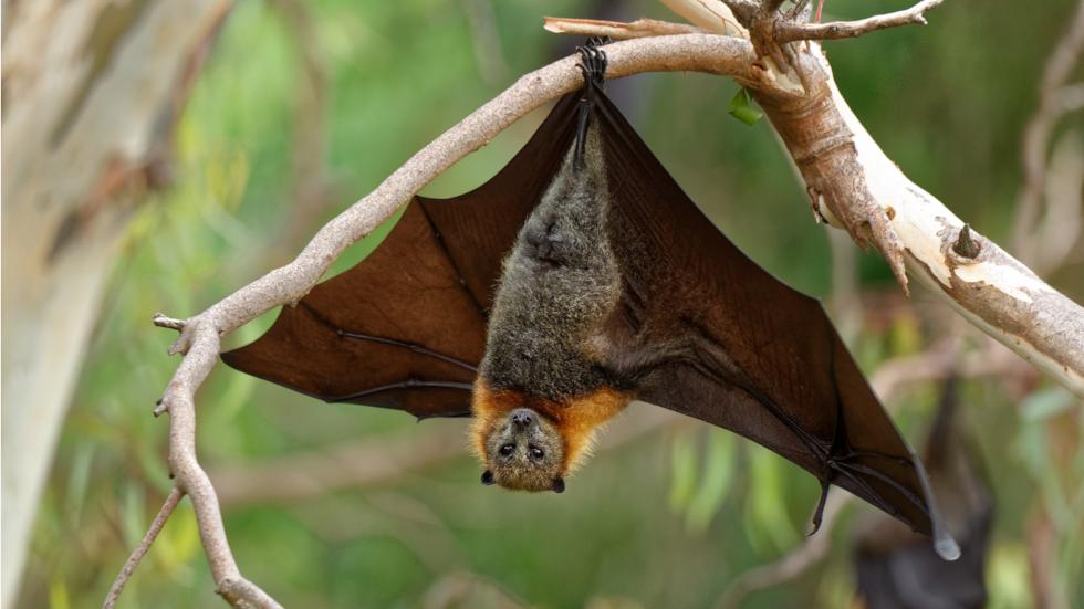 Solo tres especies de murciélagos recurren a la hematofagia